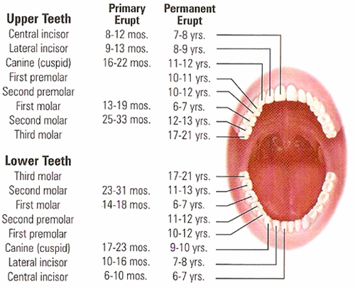 Eruption age of teeth faqs goa dentist dentist in goa the eruption ages may vary in different individuals but generally they are as follows ccuart Gallery